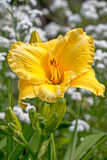 Yellow daylily. Flower close-up Royalty Free Stock Photography