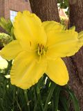 Yellow daylily flower/ plant Royalty Free Stock Photos