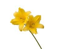 Yellow Daylily (hemerocallis) on a white background Stock Photo
