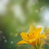 Yellow daylily Royalty Free Stock Photography