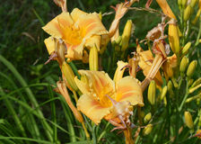 Yellow Daylily. From the summer Royalty Free Stock Image