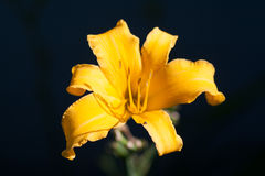 Yellow Daylily with Tiny Spider. Yellow Daylily in sunlight with a tiny spider Royalty Free Stock Photos