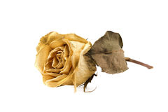 Yellow dead rose Royalty Free Stock Photos