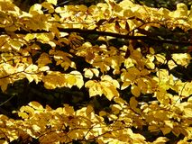 Yellow, Deciduous, Maidenhair Tree, Leaf Royalty Free Stock Photo