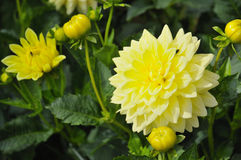 Yellow decorative dahlia Stock Photo