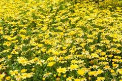 Yellow decorative flowers field Royalty Free Stock Photos