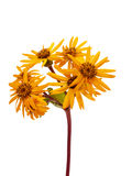 Yellow decorative garden camomile Royalty Free Stock Photo