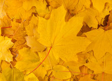 Yellow decorative maple leafs Royalty Free Stock Image