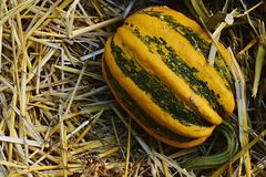 Yellow decorative pumpkin Cucurbita Pepo with green stripes and vertical fissure, named Camo Camo Royalty Free Stock Photo