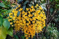 Yellow Dendrobium orchid. Dendrobium lindleyi is wild orchid in thailand Stock Images