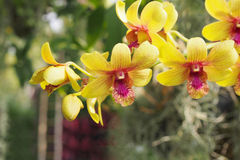 Yellow dendrobium orchid Stock Images