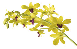 Yellow  Dendrobium Orchid on White Background. Royalty Free Stock Images