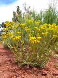 Yellow Desert Flowering Shrub. Colorado western desert parsley in bloom with yellow flowers against desert shrubs and trees on red sandstone Stock Photos