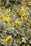 Yellow Desert Flowers Royalty Free Stock Photo