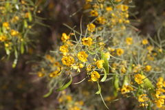 Yellow Desert Flowers Stock Photography