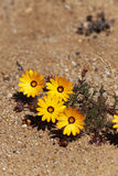 Yellow desert plant in South Africa. Close up stock image
