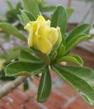 Yellow Desert Rose Flower Stock Photos