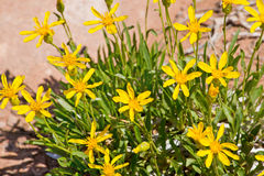 Yellow Desert Wildflowers in Arches National Park. In Utah Royalty Free Stock Photo