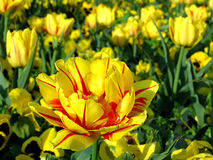 Yellow detail of tulip flower. On flower field Royalty Free Stock Images