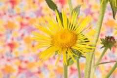 Yellow devyasil macrophylla Stock Photos