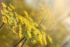 Yellow Dill Royalty Free Stock Image