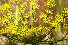 Yellow dill blossoms Royalty Free Stock Photography