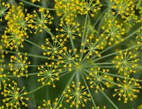 Yellow dill flowers in the garden on a summer day, top view, clo. Pattern of yellow dill flowers in the garden on a summer day, top view, close-up. Blurred Royalty Free Stock Photo
