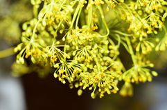 Yellow dill flowers. Macro photo of fennel. royalty free stock photography