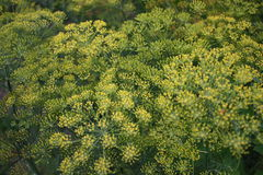 Yellow Dill Inflorescence. Great Number of Yellow Dill Inflorescence Stock Photos