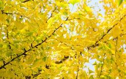 Yellow dingo tree Stock Image