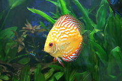 Yellow Discus fish in aquarium. A large yellow Discus tropical fish swimming in the water of an aquarium royalty free stock photography