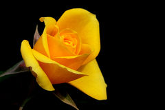 Yellow Dismissed Rose Stock Image