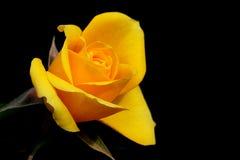 Yellow dismissed rose Stock Image