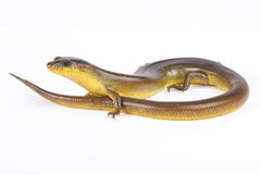 Yellow diving skink, Amphiglossus astrolabi Royalty Free Stock Image