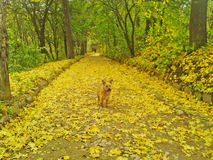 Yellow dog in the autumn park Stock Images