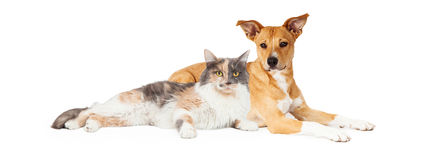 Yellow Dog and Calico Cat. Mixed breed dog and calico cat laying together stock photography