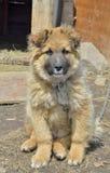 Yellow dog 25 Royalty Free Stock Photography