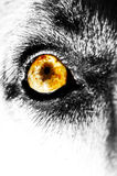 Yellow Dog Eye Stock Photos