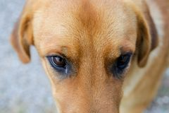 Yellow dog and eyes Stock Photography