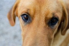 Yellow dog and eyes Stock Photo