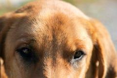 Yellow dog and eyes Royalty Free Stock Image