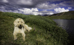 Yellow Dog, Green Grass, Blue Sky & White Clouds. Labradoodle resting next to Silver Dollar lake in the Front Range Mountains of Colorado on a beautiful Royalty Free Stock Photos