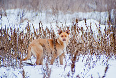 Yellow dog hiding on a gray grass background in a field Royalty Free Stock Photography