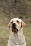 Yellow dog Labrador Retriever Stock Image
