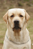 Yellow dog Labrador Retriever Royalty Free Stock Photography