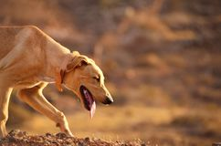 Yellow dog  laugh. And shut its eyes Stock Photography