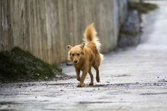 Yellow dog pet with puffy tail outdoors.  Royalty Free Stock Photos
