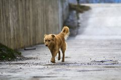 Yellow dog pet with puffy tail outdoors.  Stock Photos