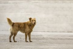 Yellow dog pet with puffy tail outdoors.  Stock Photo