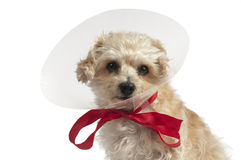Yellow dog with plastic ear protection Royalty Free Stock Photos